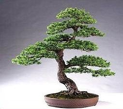 Image Of Bonsai Tree Clipart All Clipart Bonsai Clipart - Cliparts ...