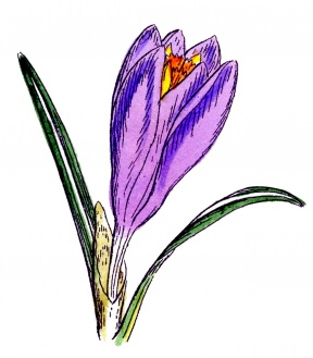 Free Crocus Clipart - Cliparts Zone