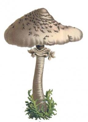 Fungus Clip Art Download - Cliparts Zone